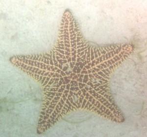 Giant starfish