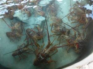 Lobster death row