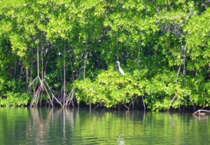 White egret in the mangroves