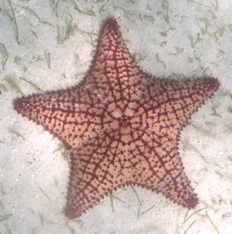 Huge starfish 2