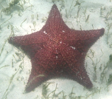 Huge starfish