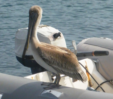 Pelican dinghy captain