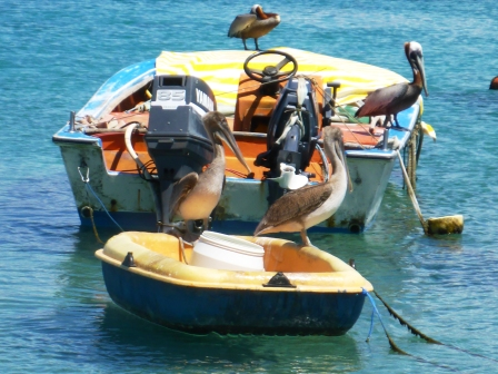 Pelicans waiting for the fishermen