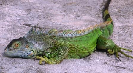 Iguana in Grand Case