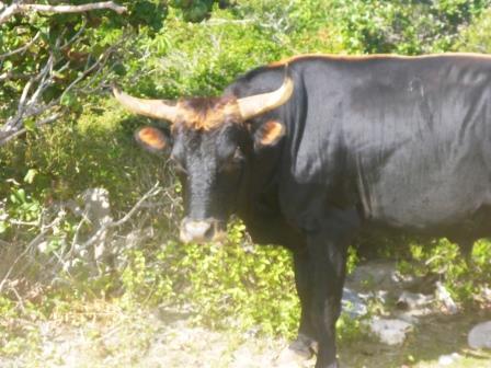 Cows roam