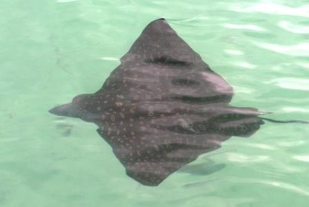 Eagle ray under the dock