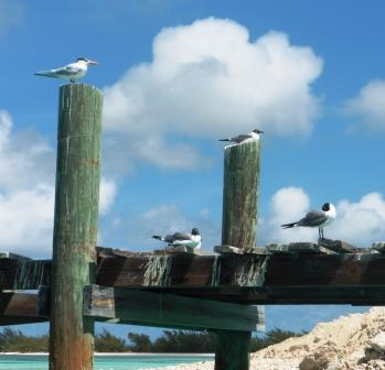 Gulls taking a nap, Rum Cay