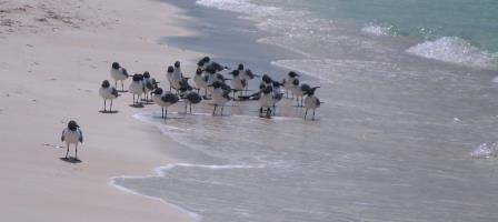 Laughing gulls are back
