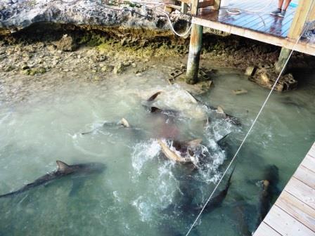 Shark feeding in the marina