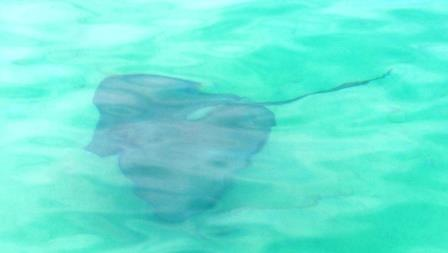 Stingray coming to see what is going on