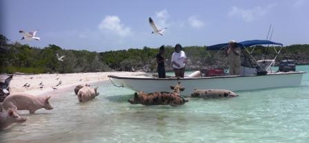 Swimming pigs 6