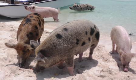 Swimming pigs 7