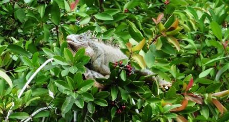 Iguana up the tree