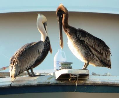 Pelican welcoming committee