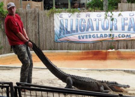 Unhappy alligator