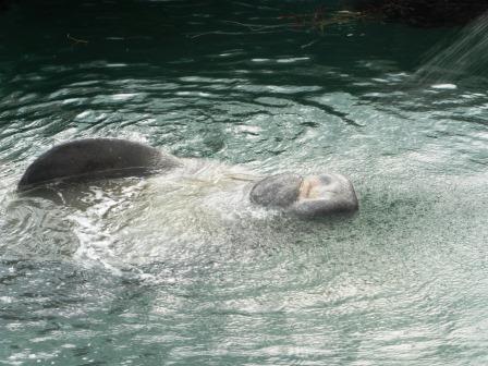 Manatee enjoying the fresh water