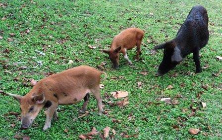 Wild pigs at EcoLodge