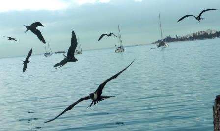 Frigate birds everywhere