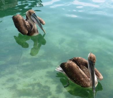 Pelicans waiting for handouts