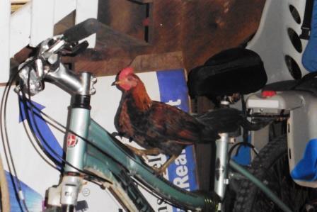 Chickens like bikes