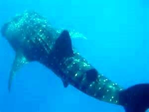1 Whaleshark