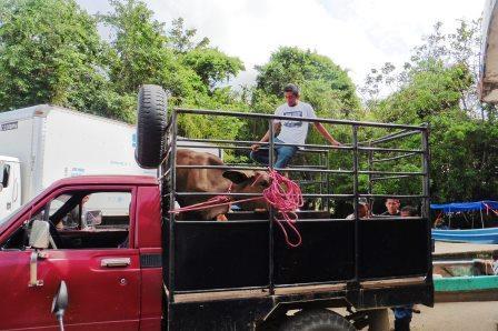 Calves in truck